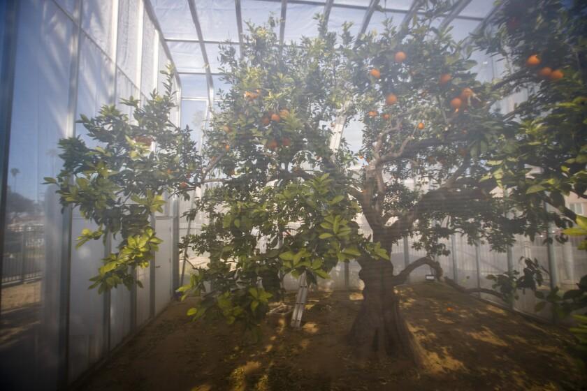 488771_la-me-citrus-greening-uc-riverside-citrus-collection_8_AJS.JPG
