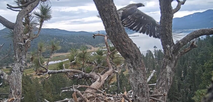 San Diego To Big Bear >> Watch This Big Bear Bald Eagle Chick Fly For The First Time