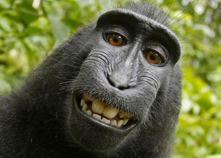 Foto provista por la organización Personas por el Trato Ético de los Animales (PETA) de una selfie captada en 2011 por un mono macaco en la isla indonesia de Sulawesi con la cámara del fotógrafo británico David Slater.