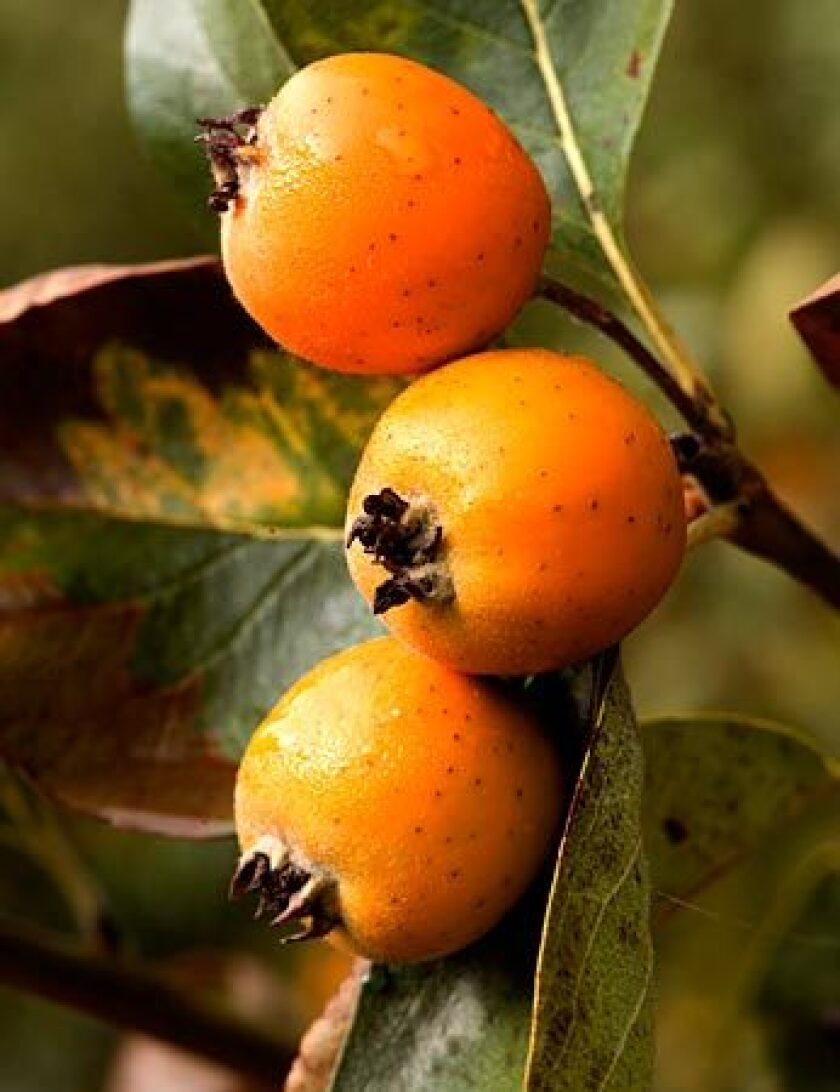 Tejocote is a peculiar crabapple-like fruit common to Mexico but now grown commercially in the United States.