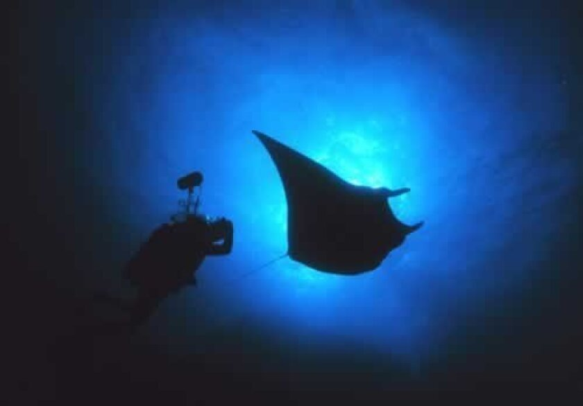 The giant manta ray can reach a width of 23 feet; the reef manta up to 18 feet. National Oceanographic and Atmospheric Administration