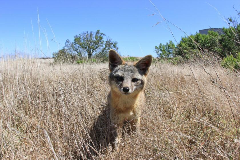 The Channel Islands' fox population has rebounded and now the animals are off the endangered species list.