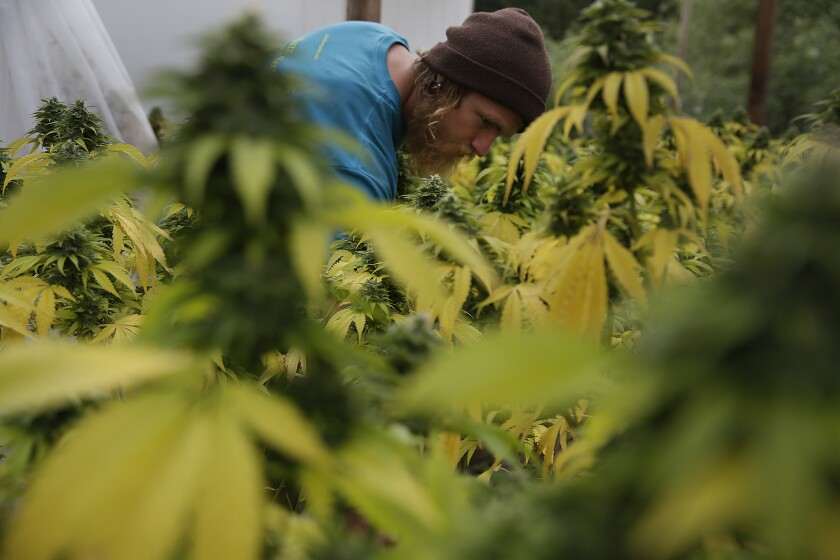 Sustainable cannabis farmer Dillon Turner applies fertilizer to a crop of plants at Sunboldt Farms, a small family farm run by Sunshine and Eric Johnston.