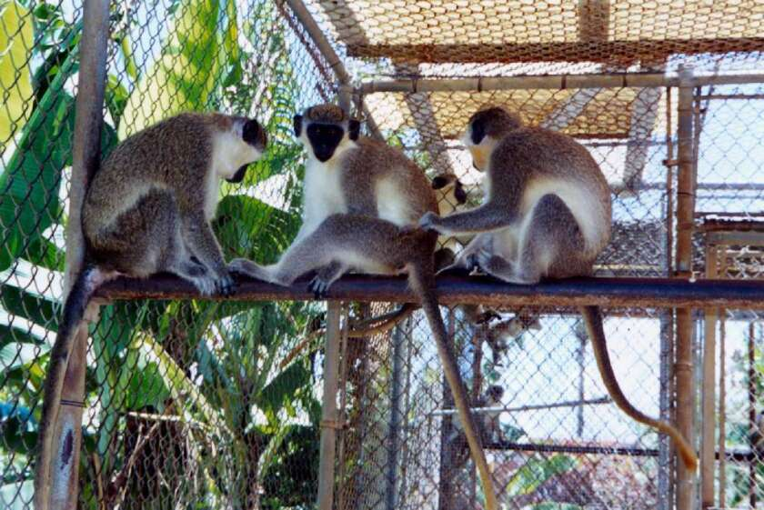 Vervet monkeys, seen here in the Caribbean nation of St. Kitts and Nevis, have been used to show that a neurotoxin produced by algae blooms may jump-start some of the brain changes seen in Alzheimer's disease.