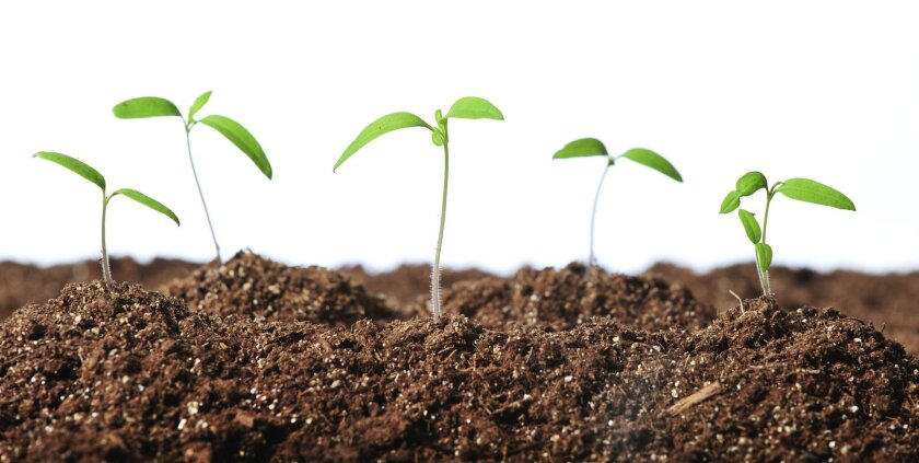 Seedlings need to be thinned because overcrowding can lead to diseases.
