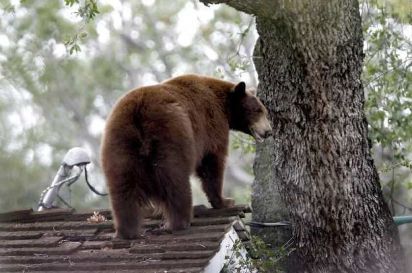 San Fernando Valley roundup: Montrose bear tranquilized, Burbank Unified considers federal grant