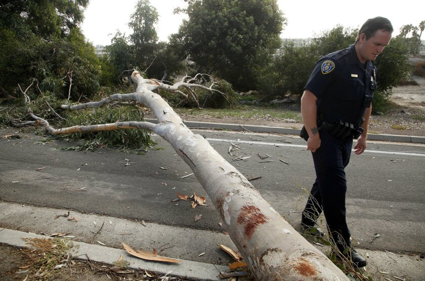 A recent storm knocked down a eucalyptus tree on the transition roadway between Ingraham Street and Sea World Drive.