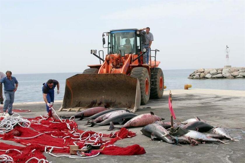 Nueve delfines nariz de botella fueron hallados muertos en las costas de Sarasota, al parecer debido a la marea roja, como se conoce la contaminación por una microalga tóxica, informó hoy el Laboratorio Marino y Acuario MOTE de esa ciudad del Florida. EFE/ARCHIVO