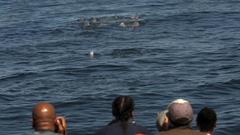 Although no whales were seen on the trip, a pod of about 75 dolphins was spotted.