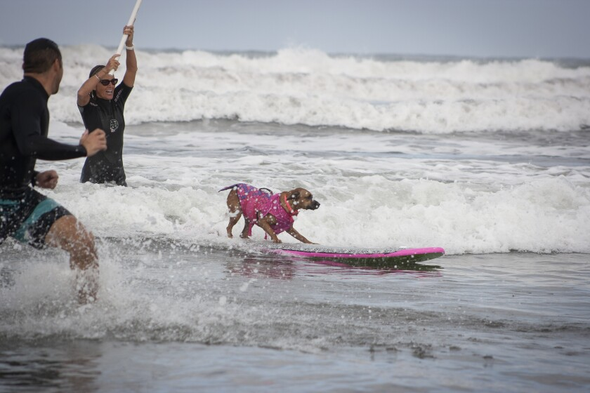 A dog catches a wave in a past Surf-A-Thon