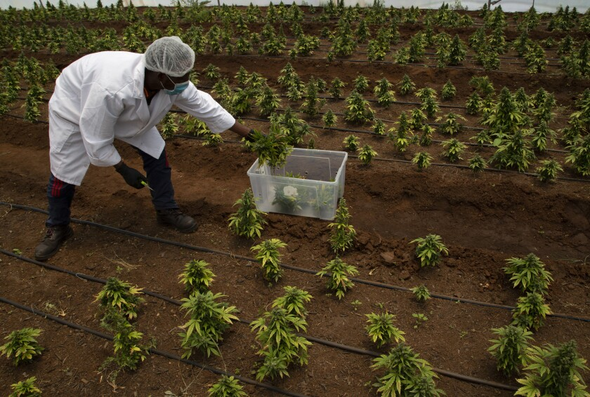 South Africa Growing Cannabis