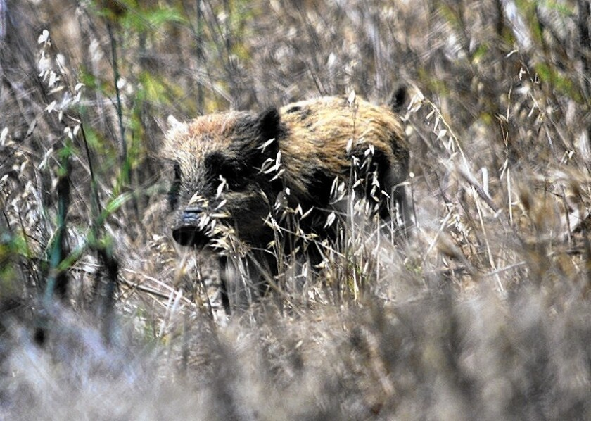 About 150 wild pigs have been killed in San Diego County