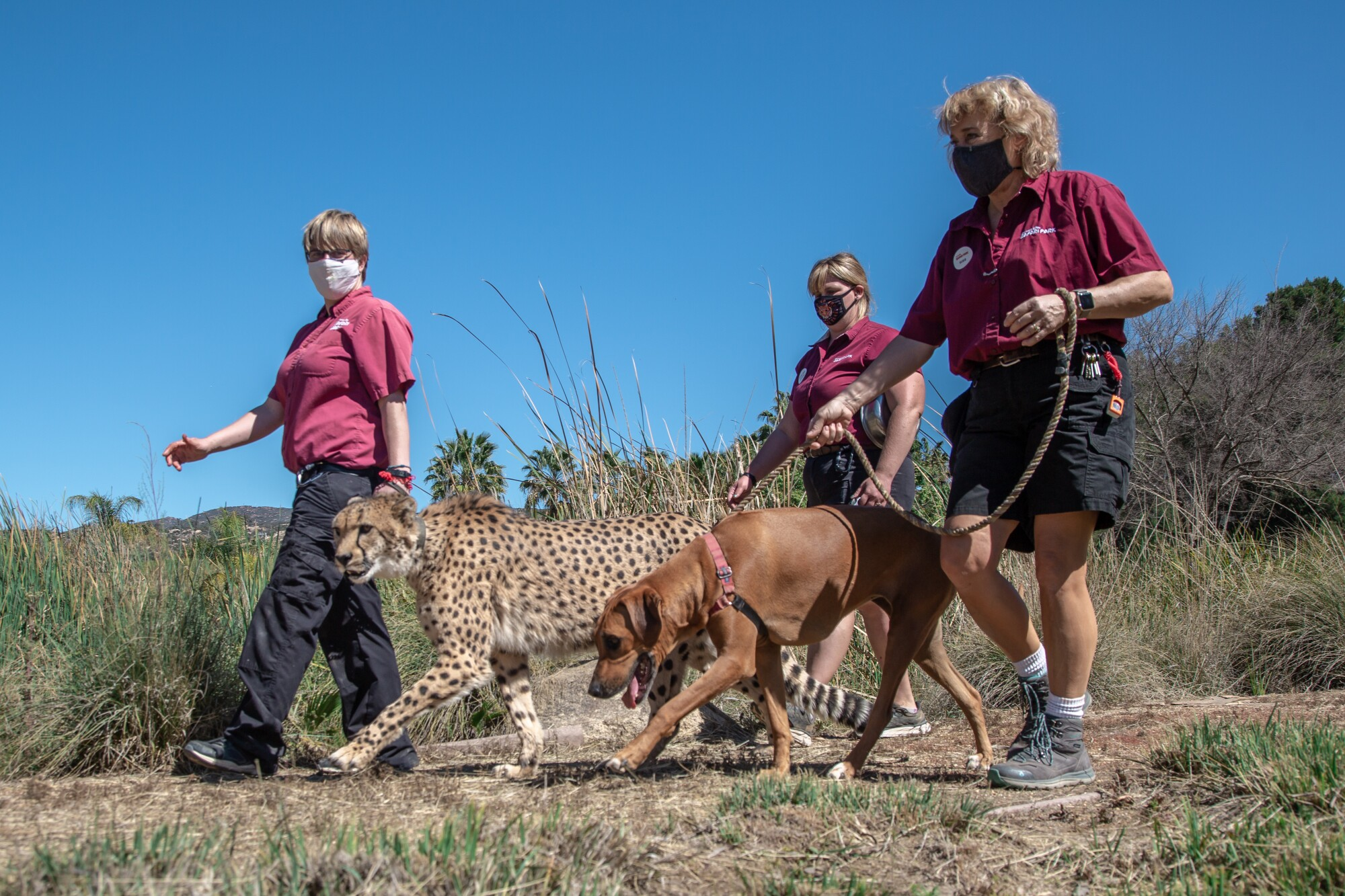 Susie Ekard assists wildlife care specialists Kristyn Sargent and Suzanne Mikesell as they walk Ruuxa the cheetah.