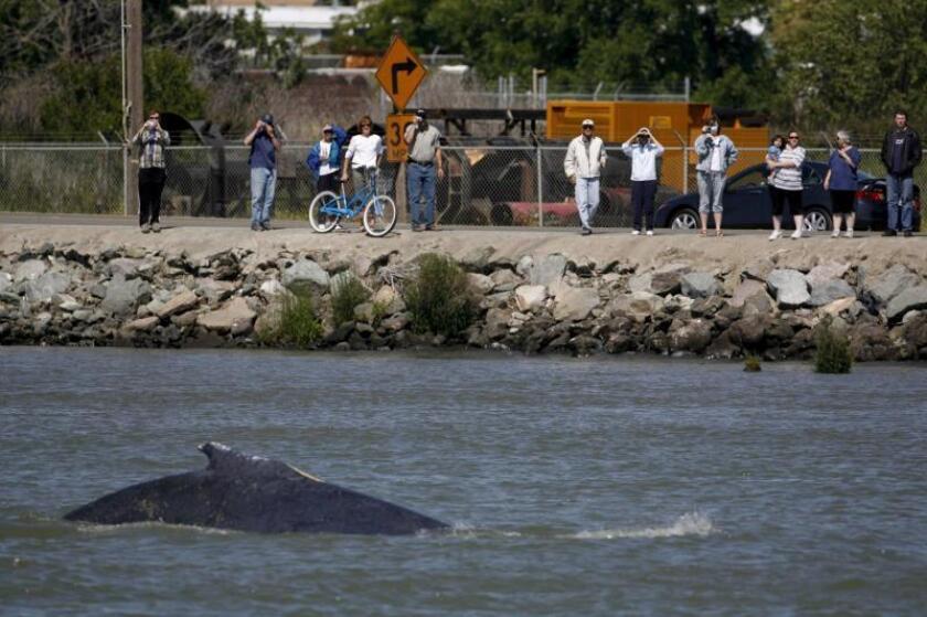 Un grupo de personas observa desde el camino que bordea el River Road, el 21 de mayo de 2007, a una ballena y su cría nadar en dirección hacia las aguas del Océano Pacífico desde el Río Sacramento en el Río Vista (EEUU), tras tomar una ruta equivocada. EFE/KATE WADE/POOL/Archivo