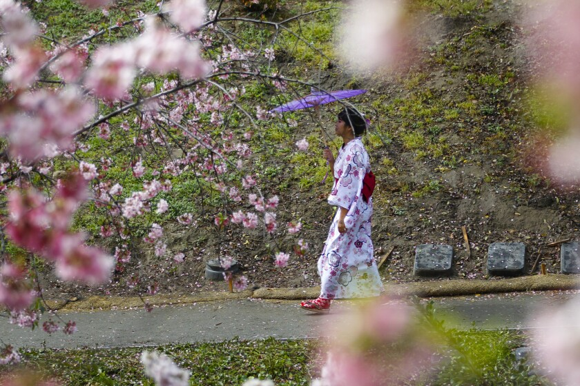 Mariel Santos wears a traditional Japanese yakuta while celebrating the 11th Annual Cherry Blossom Festival.