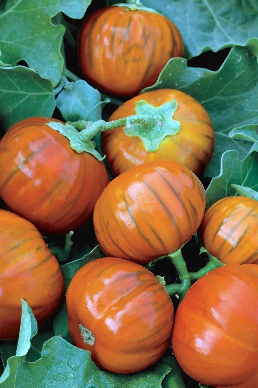 Turkish Orange eggplant yields tennis-ball-size fruits.