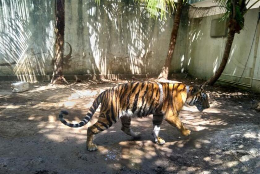 Decomisan tigre de bengala y mono araña hallados en una vivienda en México