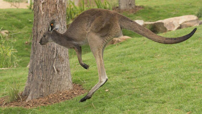 Walkabout Australia San Diego Zoo Safari Park