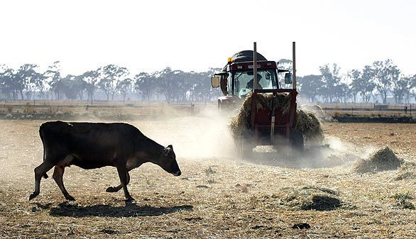 Colin Davies rolls out alfalfa for his dairy cows in a dusty paddock at his Victoria dairy. Rising feed costs and a decrease in milk prices are forcing many dairy farmers out of business.