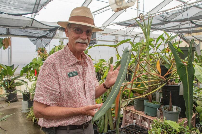 Julian Duval shows off the San Diego Botanic Garden's rarest plant, an endangered Brazilian Philodendron spiritus sancti, in the Leichtag greenhouse, formerly part of the Ecke Ranch and now home to SDBG's tropical plants. The neighboring Leichtag Foundation is one of the Garden's most generous donors.