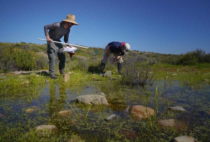 Biologists Jason Allen (left) and Doug Allen take a closer look at one of the many vernal pools in a fenced off area of Otay Mesa designated as an Habitat Enhancement Site.