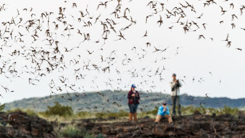 People watch Mexican free-tailed bats in flight against the evening sky after emerging from roost in lava tubes on Armendaris Ranch near Truth or Consequences, N.M.