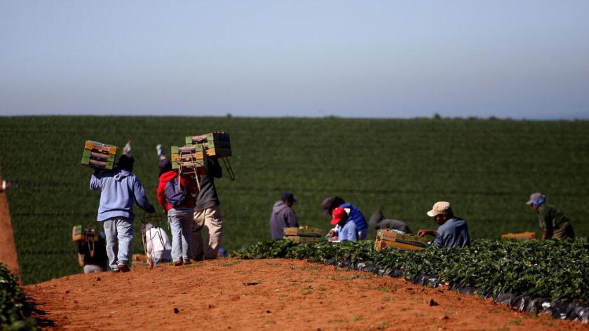Los trajadores agrícolas mexicanos son el sector que principalmente aprovecha las visas de trabajo temporal que brinda Estados Unidos anualmente.