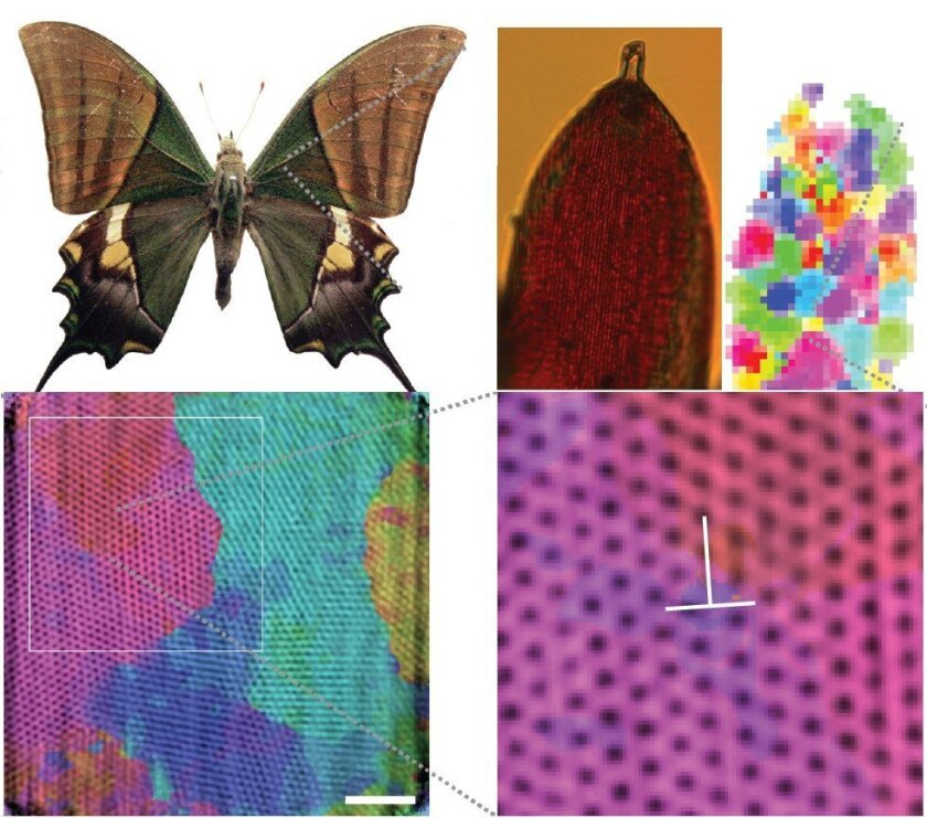 "Scales from the wings of the Emperor of India butterfly consist of ""highly oriented"" photonic crystals."