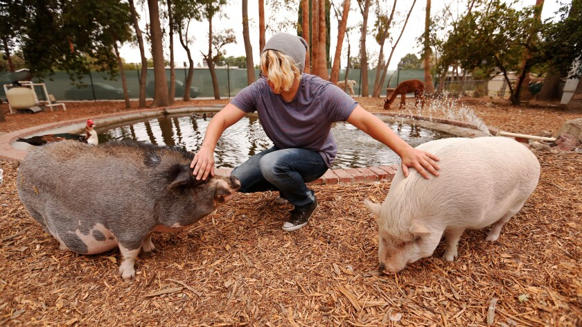 Alex Snyder, 17, pets Gordy, left, and Peanut, the two pot-bellied pigs at John R. Wooden High School in Reseda, a continuation school with an organic farm and a refuge for rescue animals on campus.