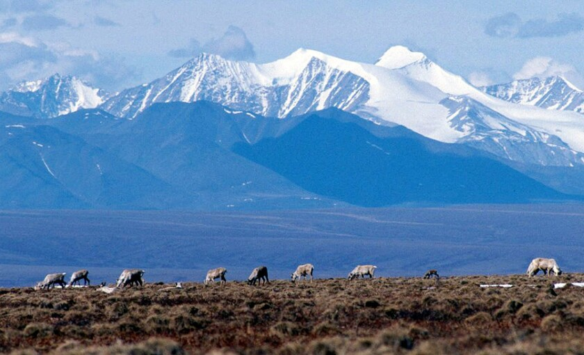 A file photo shows caribou grazing in the Arctic National Wildlife Refuge in Alaska.
