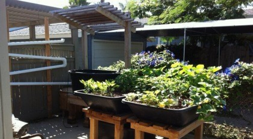 This aquaponic garden is in the process of balancing at the home of Sue Spray, who will soon install the flat at a new community garden in Solana Beach. Courtesy photo