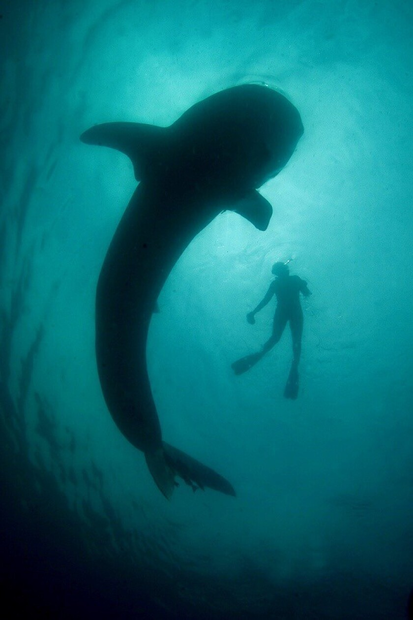 Swimming with whale sharks in Baja