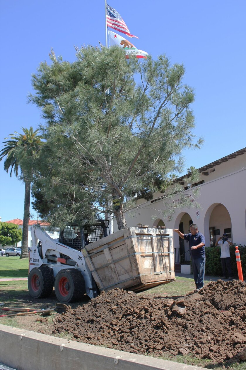 Moon Valley Nursery delivered this 15-year-old Italian stone pine tree to La Jolla Rec Center Friday, March 27. It replaces a nearly 100-year-old tree of the same species that fell on the Rec Center roof last October.