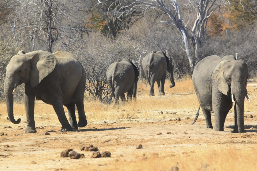 FILE - In this Thursday, Aug. 6, 2015 file photo, elephants roam in the Hwange Game Reserve in Zimbabwe. An environmental group in Zimbabwe has applied to the country's High Court, Tuesday Sept. 8, 2020, to stop a Chinese firm from mining coal in the park which hosts one of Africa's largest populations of elephants. (AP Photo/Tsvangirayi Mukwazhi/File)