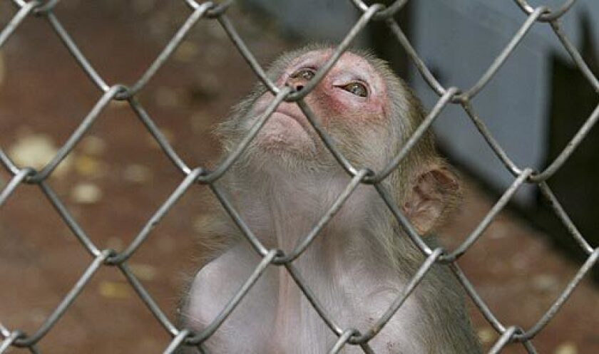 A monkey looks through its cage at the sanctuary in Sukhumi. Like the theoretically meaningless license plates, flags and passports churned out by the Abkhazian government, the monkeys stand as thin evidence that the breakaway Georgian republic is a real country.