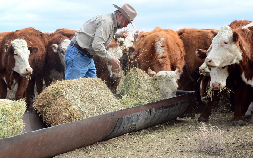 California rancher Nathan Carver drops off bails of hay to feed his herd of beef cattle on the outskirts of Delano, in California's Central Valley.