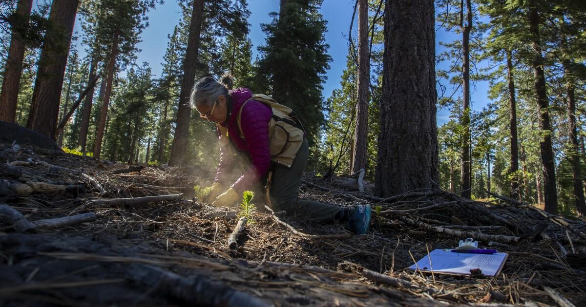 In der Sierra, Wissenschaftler Wette auf 'survivor' von Bäumen zu widerstehen Trockenheit und Klimawandel
