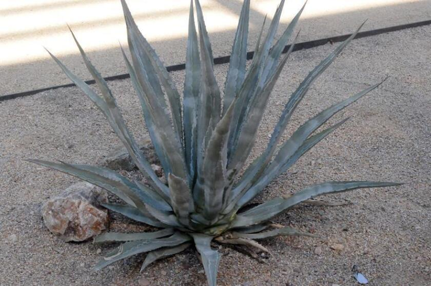 """Photo of the """"Agave sanpedroensis"""" taken on Nov. 21, 2018; this recently discovered species of agave sheds new light on Arizona's pre-Columbian Hohokam culture (800-1450 AD) and how its people survived in the region's inhospitable southern desert. EFE-EPA/Beatriz Limon"""