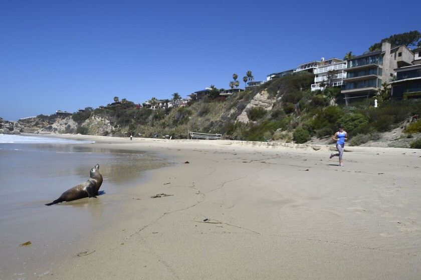 A jogger passes a stranded adult sea lion in Laguna Beach on March 30. Record numbers of starving baby sea lions continue to wash ashore in California.