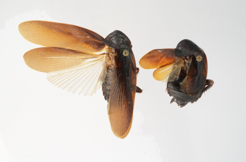 The Periplaneta japonica -- a male, left, and female are shown here -- is a new species of cockroach recently found in the U.S. that can withstand harsh winter cold.