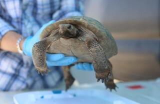 Marines airlift 1,100 desert tortoises