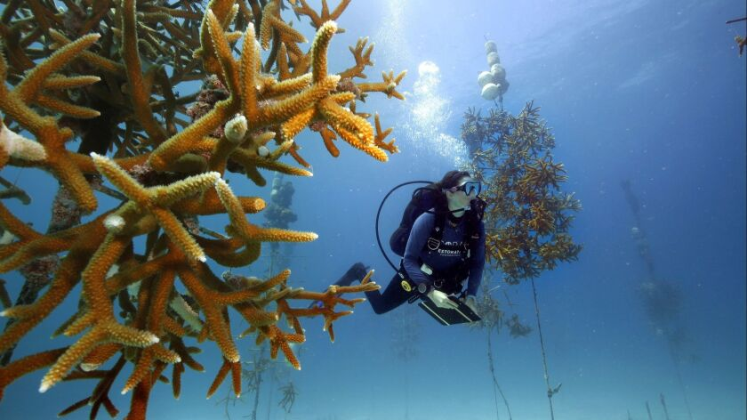 KEY LARGO, FLORIDA--Kayla Ripple, a marine biologist, checks on coral growing in the sea-based nurse