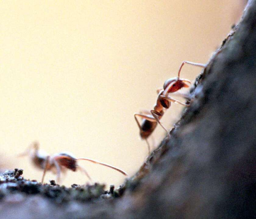 In drier climates, the Cordia alliodora tree tempts Azteca pittieri ants with more sap in order to recruit them to defend the tree against leaf-eating bugs, says a new study in PLOS Biology.