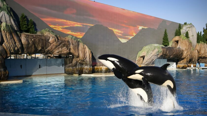 Orcas jump during rehearsals for the Orca Encounter attraction at SeaWorld San Diego.
