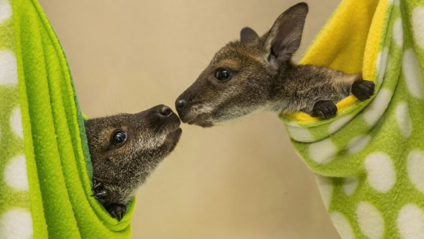 A Double Dose of Adorable: Wallaby Joeys Now Being Hand Raised at the San Diego Zoo Safari Park
