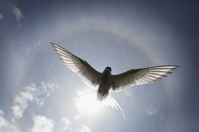 An Arctic tern silhouetted against the sky.