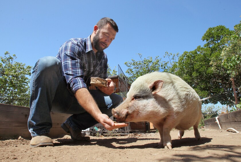 John Fiske, an environmental lawyer and owner of San Diego Farm Animal Rescue, feeds Roosevelt, a pot-bellied pig born with deformed hooves.