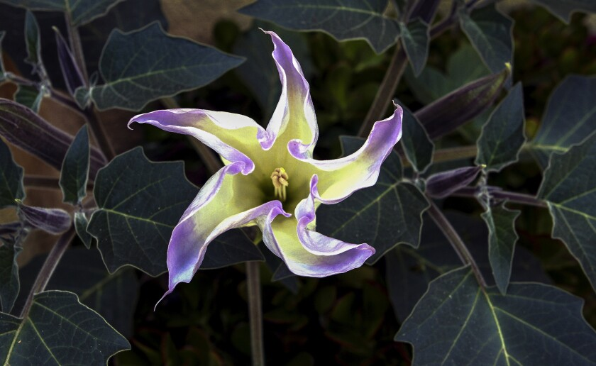 Brugmansia in bloom