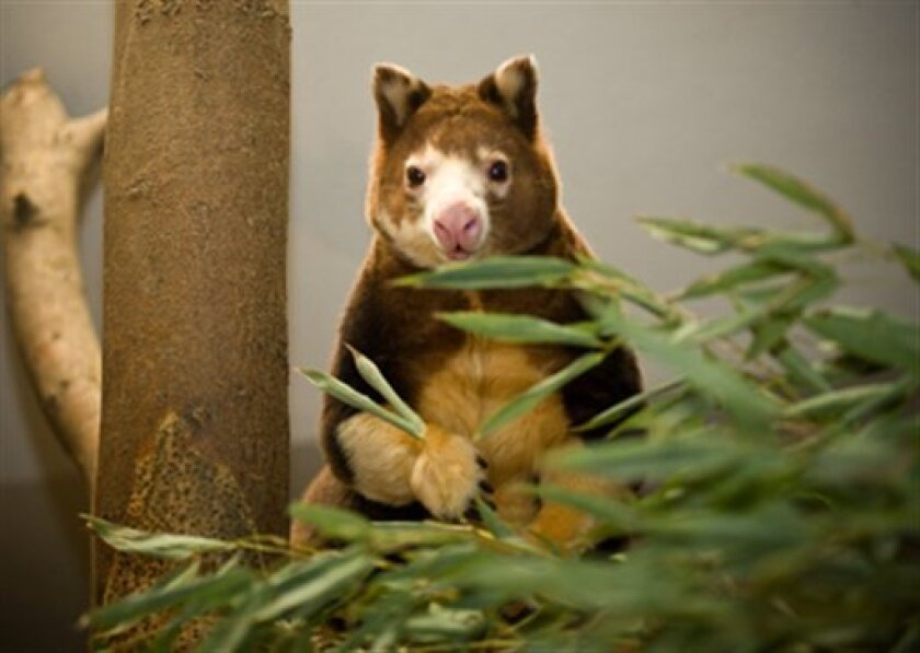 This photo released by the Lincoln Children's Zoo, shows Milla, a Matschie's tree kangaroo, on Tuesday, Jan. 6, 2009 in Lincoln, Neb. The Lincoln Children's Zoo is celebrating its first set of Matschie's tree kangaroo twins and an official who tracks numbers of the extremely rare species says it's