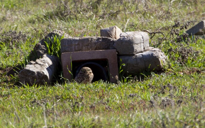 Burrowing owl release